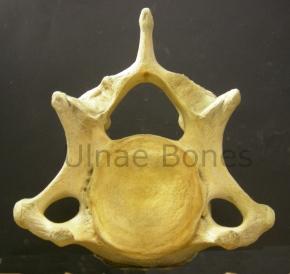 cervical elefante ulnae bones esqueleto skeleton