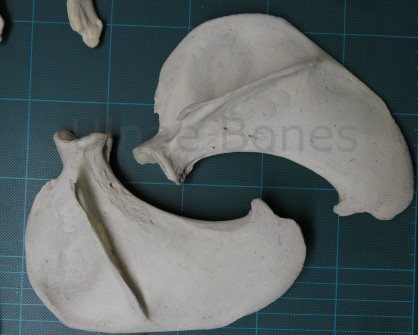 foca ulnae bones esqueleto skeleton