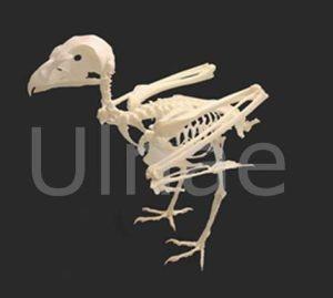 falco tinnunculus esqueleto skeleton ulnaebones