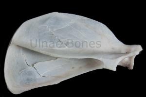 gato montes gat fer ulnae bones esqueleto skeleton