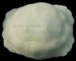 geochelone gigantea caparazon esqueleto skeleton ulnaebones