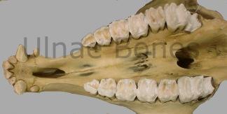 jirafa ulnae bones esqueleto skeleton