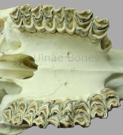 girafa ulnae bones esqueleto skeleton
