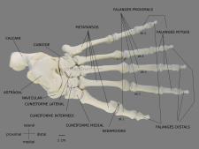 pie foot gorilla gorila esqueleto skeleton ulnaebones