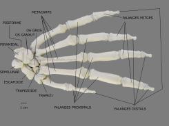 mano hand gorilla gorila esqueleto skeleton ulnaebones
