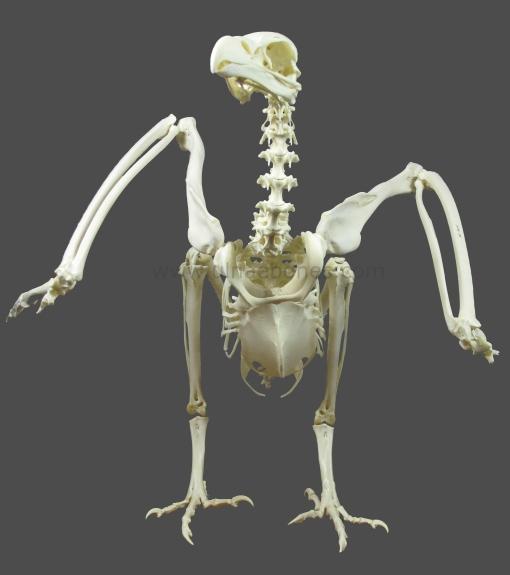 gyps fulvus esqueleto skeleton ulnaebones