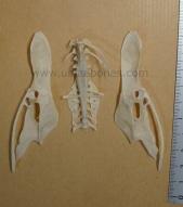 ulnae bones esqueleto skeleton himantopus pelvis