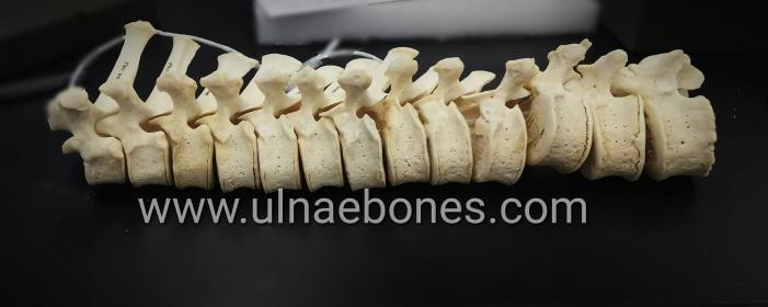 gorilla gorila vertebrae vertebras skeleton ulnaebones