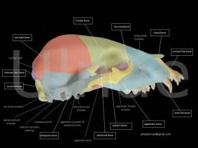 ulnaebones atlas osteologico oso pardo bebe