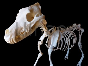 canis lupus signatus lobo skeleton ulnaebones
