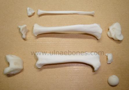 ulnae bones esqueleto skeleton nutria lludriga pota posterior femur tibia fibula