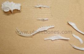 ulnae bones esqueleto skeleton nutria malpolon craneo