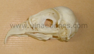 ulnae bones esqueleto skeleton pandion pescadora craneo