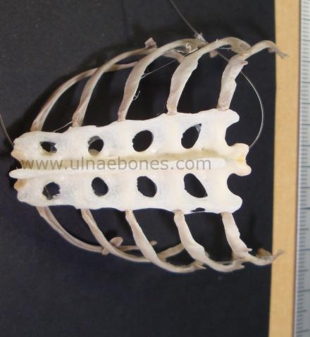 ulnae bones esqueleto skeleton halcon peregrino