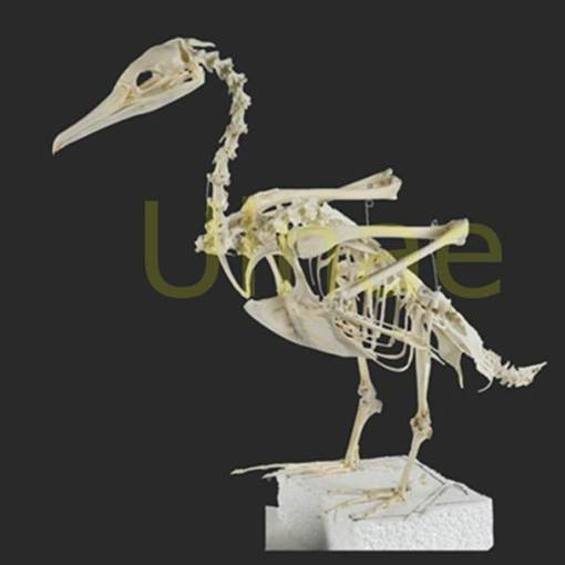 phalacrocorax
