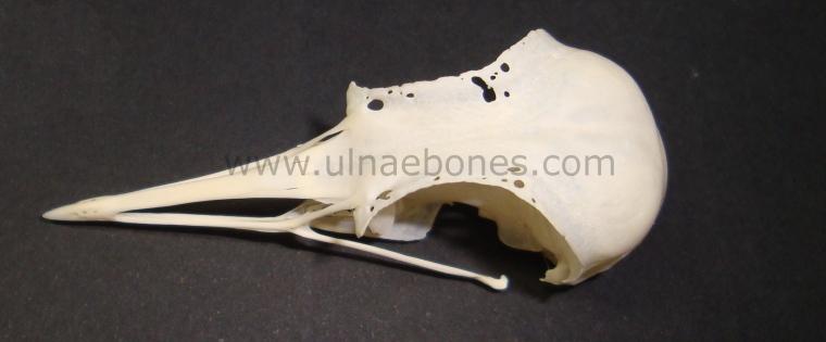 ulnae bones esqueleto skeleton pluvialis cranium craneo