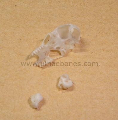 ulnae bones esqueleto skeleton rhinolophus cranium craneo