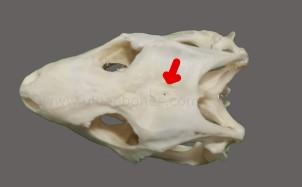 ulnae bones esqueleto skeleton tiliqua eye third cranium craneo