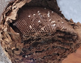 nido vispa asiatica ulnaebones vespa velutina