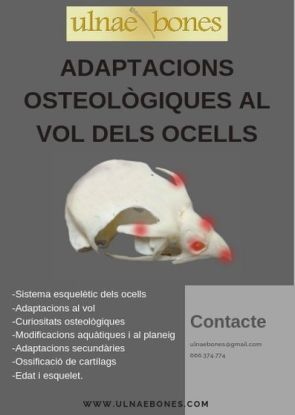 osteologia aves ocells ulnaebones