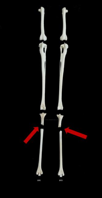 burhinus oedicnemus ulnaebones patas tarso metatarso cosechadora amputacion