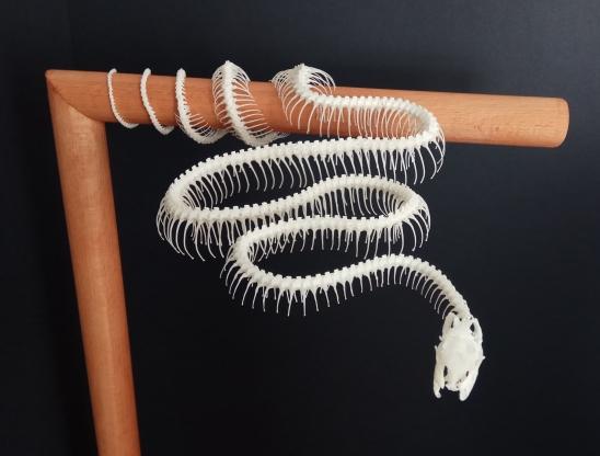 corallus hortulanus ulane bones montaje esqueleto