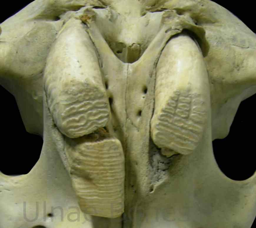 molares elefante ulnaebones