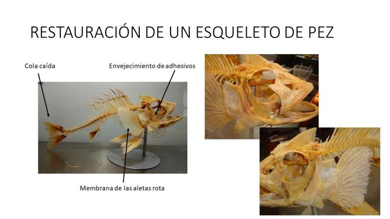 restauracion peces esqueletos ulnaebones