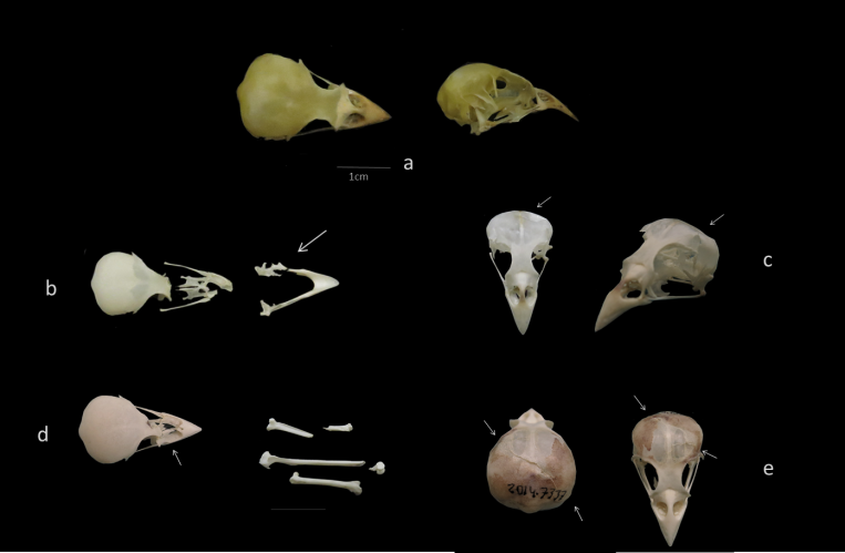 craneos gorriones depredacion ulnaebones osteologia