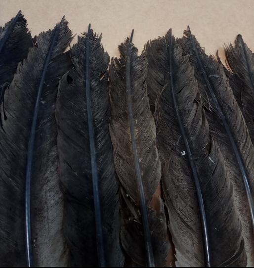 cola Aegypius monachus buitre negro ulnebones