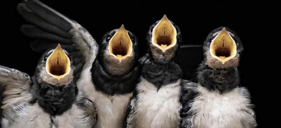 pico aves ulnaebones